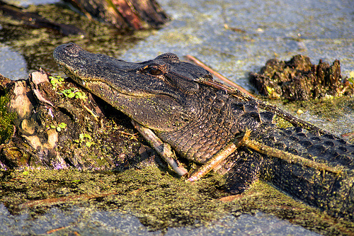 american-alligator-mississippiensis-at-harris-neck-national-wildlife-refuge-mcintosh-county-ga-picture-image-photograph-brian-brown-vanishing-coastal-georgia-usa-2013