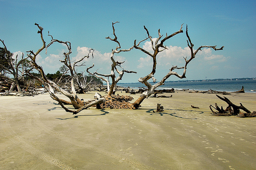 Driftwood Beach GA Jekyll Island Atlantic Ocean Petrified Ancient Trees Erosion Tidal Forest Fragile Ecosystem Mismanagement by JIA Picture Image Photograph © Brian Brown Vanishing Coastal Georgia USA 2013