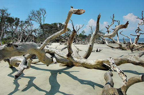 Driftwood Beach GA Jekyll Island Atlantic Ocean Petrified Ancient Trees Erosion Tidal Forest Fragile Ecosystem Picture Image Photograph © Brian Brown Vanishing Coastal Georgia USA 2013