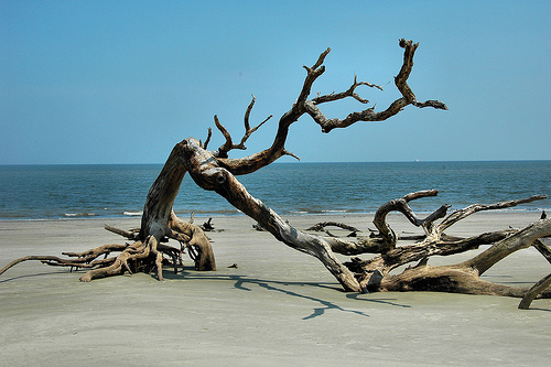 Driftwood Beach GA Jekyll Island Atlantic Ocean Petrified Ancient Trees Erosion Tidal Forest Picture Image Photograph © Brian Brown Vanishing Coastal Georgia USA 2013