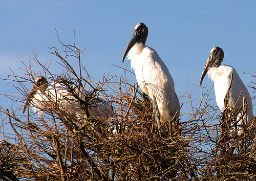Wood Storks Mycteria americana Building Nests Rookery Harris Neck National Wildlife Refuge NWR McIntosh County GA Picture Image Photograph © Brian Brown Vanishing Coastal Georgia 2013