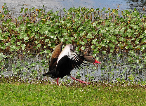 Black-bellied Whistling Duck Accidental Dendrocygna autmunalis Tolomato Island GA Picture Image Photograph © Brian Brown Vanishing Coastal Georgia USA 2013