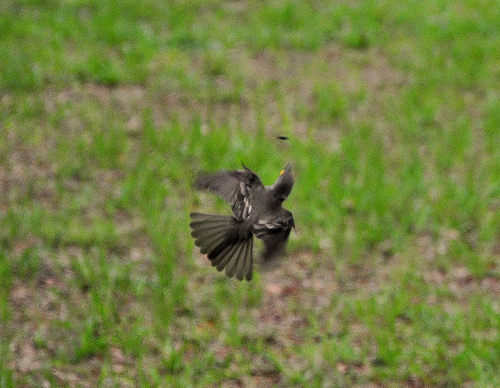 Eastern Wood-Pewee Migratory Flycatcher Catching Bug in Flight Sapelo Island GA Hog Hammock Picture Image Photograph © Brian Brown Vanishing Coastal Georgia USA 2013