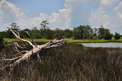 Sapelo Island GA Tidal Pond Petrified Tree Driftwood Picture Image Photograph © Brian Brown Vanishing Coastal Georgia USA 2013
