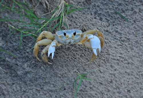 Atlantic Ghost Crab Ocypode quadrata Jekyll Island GA Picture Image Photograph Copyright © Brian Brown Vanishing Coastal Georgia USA 2013