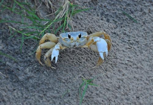 Atlantic Ghost Crab Ocypode quadrata Jekyll Island GA Picture Image Photograph Copyright © Brian Brown Vanishing Coastal Georgia USA 2013