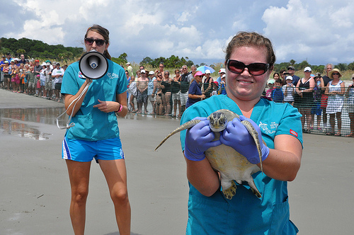 Georgia Sea Turtle Center Chelonia mydas Release Ebb Green Sea Turtle Supporting Crowds Jekyll Island GA Picture Image Photograph © Copyright Brian Brown Vanishing Coastal Georgia USA 2013