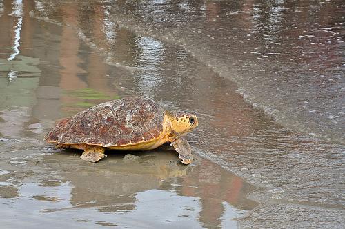 Sea Turtles in Georgia Georgia Sea Turtle Center