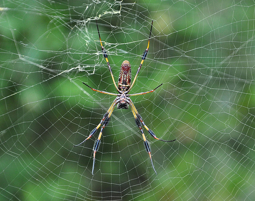 Golden Silk Orb weaver Nephila clavipes Banana Spider Intricate Web Picture Image Photograph Copyright © Brian Brown Vanishing Coastal Georgia USA 2013 closeup