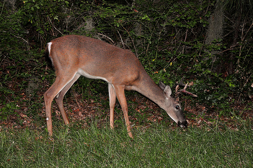 Jekyll Island GA Whitetail Deer Odocoileus virginianus Grazing at Night Picture Image Photograph Copyright © Brian Brown Vanishing Coastal Georgia USA 2013