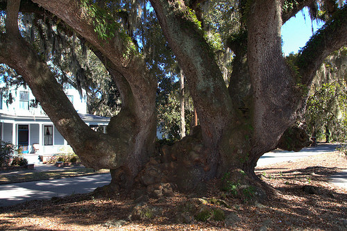 Lovers Oak Base of Tree Corner of Prince Albany Streets Brunswick GA Photograph Copyright Bian Brown Vanishing Coastal Georgia USA 2014
