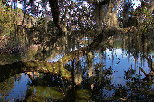 Oak Limb Spanish Moss in Woody Pond Harris Neck NWR McIntosh County GA Photograph Copyright Brian Brown Vanishing South Georgia USA 2014