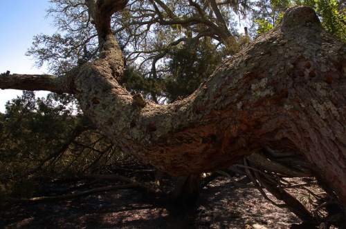 Crooked River GA Ancient Cedar Twisted Trunk Photograph Copyright Brian Brown Vanishing South Georgia USA 2014