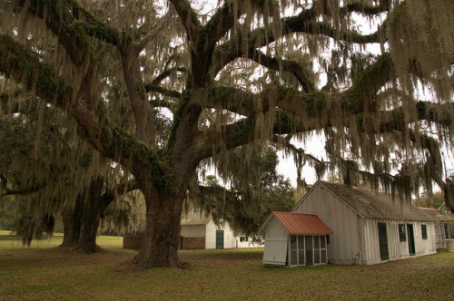 Hofwyl House Rice Plantation Attached Kitchen Live Oak Tree Spanish Moss Glynn County GA Photograph Copyright Brian Brown Vanishing Coastal Georgia USA 2014