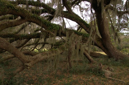 Live Oak Tree Growing Sideways Grove Canopy Spanish Moss Hofwyl Broadfield Plantation Glynn County GA Photograph Copyright Brian Brown Vanishing Coastal Georgia USA 2014