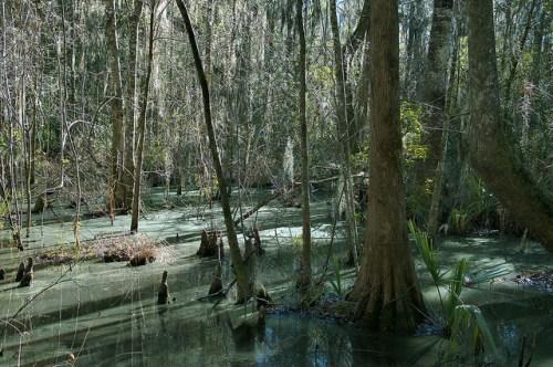Cay Creek Liberty County GA Freshwater Swamp in Transitional Coastal Wetland Photograph Copyright Brian Brown Vanishing Coastal Georgia USA 2015