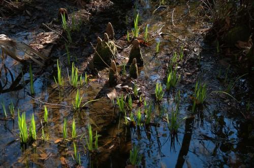 Cay Creek Wetlands Liberty County GA Cypress Knees Iris Photograph Copyright Brian Brown Vanishing Coastal Georgia USA 2015