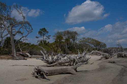 Driftwood Beach Boneyard Jekyll Island GA Maritime Forest Erosion Photograph Copyright Brian Brown Vanishing Coastal Georgia USA 2015