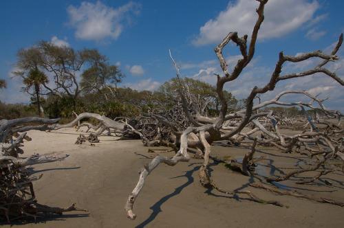 Driftwood Beach Jekyll Island GA Oak Boneyard Fallen Trees Maritime Forest Photograph Copyright Brian Brown Vanishing Coastal Georgia USA 2015