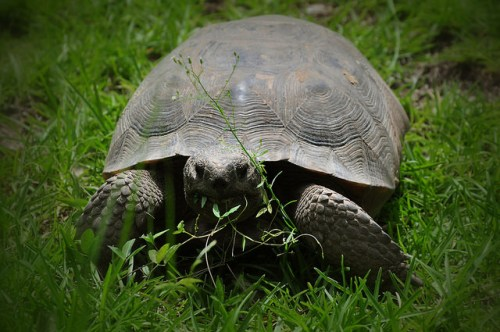oatland-island-ga-gopher-tortoise-savannah-ga-photograph-copyright-brian-brown-vanishing-coastal-georgia-usa-2015