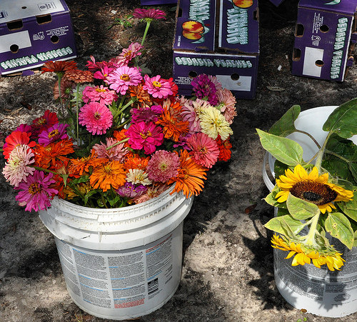 Forsyth Farmers Market Savannah GA Zinnias Sunflowers Fresh Cut Flowers Photograph Copyright Brian Brown Vanishing Coastal Georgia USA 2015