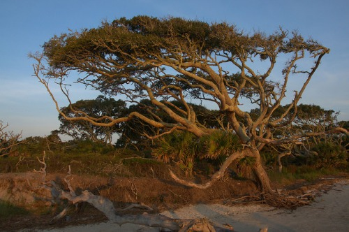 Driftwood Beach Jekyll Island GA Oak Tree Photograph Copyright Brian Brown Vanishing Coastal Georgia USA 2015