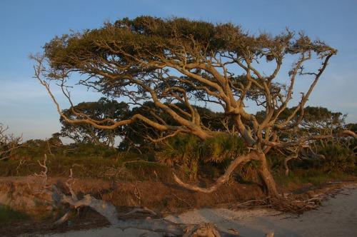 Driftwood Beach Jekyll Island GA Oak Tree Photograph Copyright Brian Brown Vanishing Coastal Georgia USA 2015