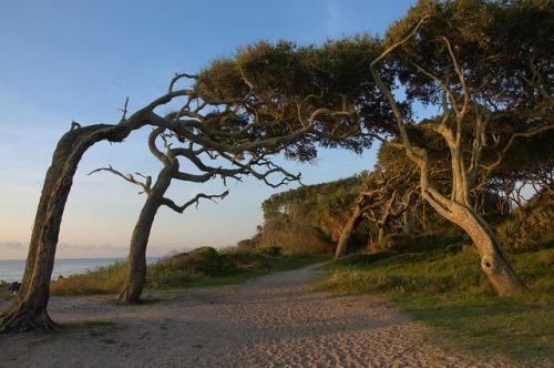Driftwood Beach Jekyll Island GA Windworn Oaks Path Photograph Copyright Brian Brown Vanishing Coastal Georgia USA 2015
