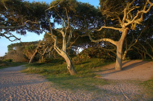 Driftwood Beach Jekyll Island GA Windworn Oaks Photograph Copyright Brian Brown Vanishing Coastal Georgia USA 2015