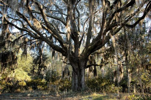 Seabrook Village Liberty County GA Old Oak with Spanish Moss Photograph Copyright Brian Brown Vanishing Coastal Georgia USA 2015