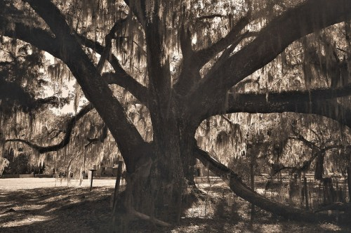 Altama Plantation Glynn County GA Ancient Live Oak Photograph Copyright Brian Brown Vanishing Coastal Georgia USA 2016
