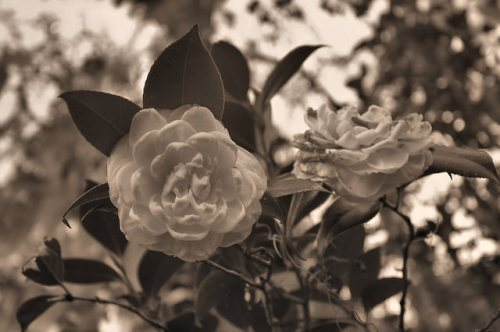 Altama Plantation Glynn County GA White Camellia Photograph Copyright Brian Brown Vanishing Coastall Georgia USA 2016